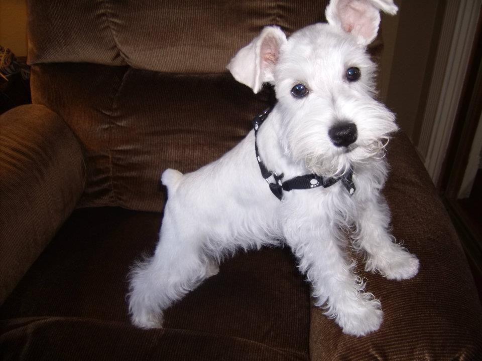 White Miniature Schnauzer So cute-a white...