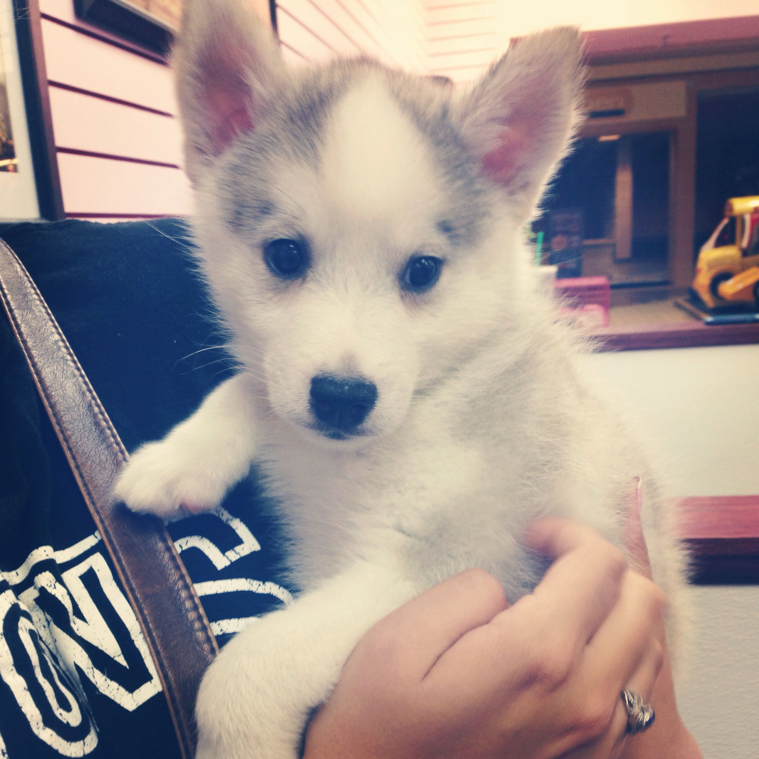 Siberian Husky Mixed With American Eskimo Animals Puppies