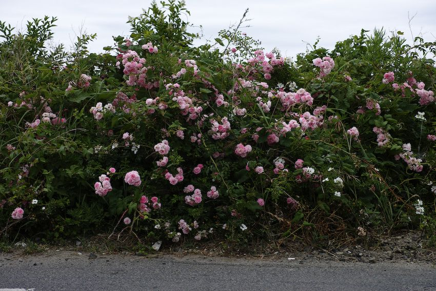 Untalkative photographs 被災地・写真・記憶: Sendai / Arahama ---roses