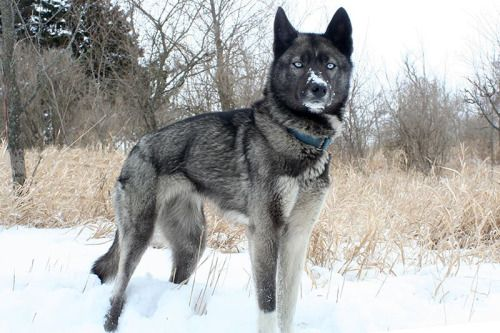 Black Husky Wolf Mix | Dog Breed Information  |Black Siberian Husky Wolf Mix