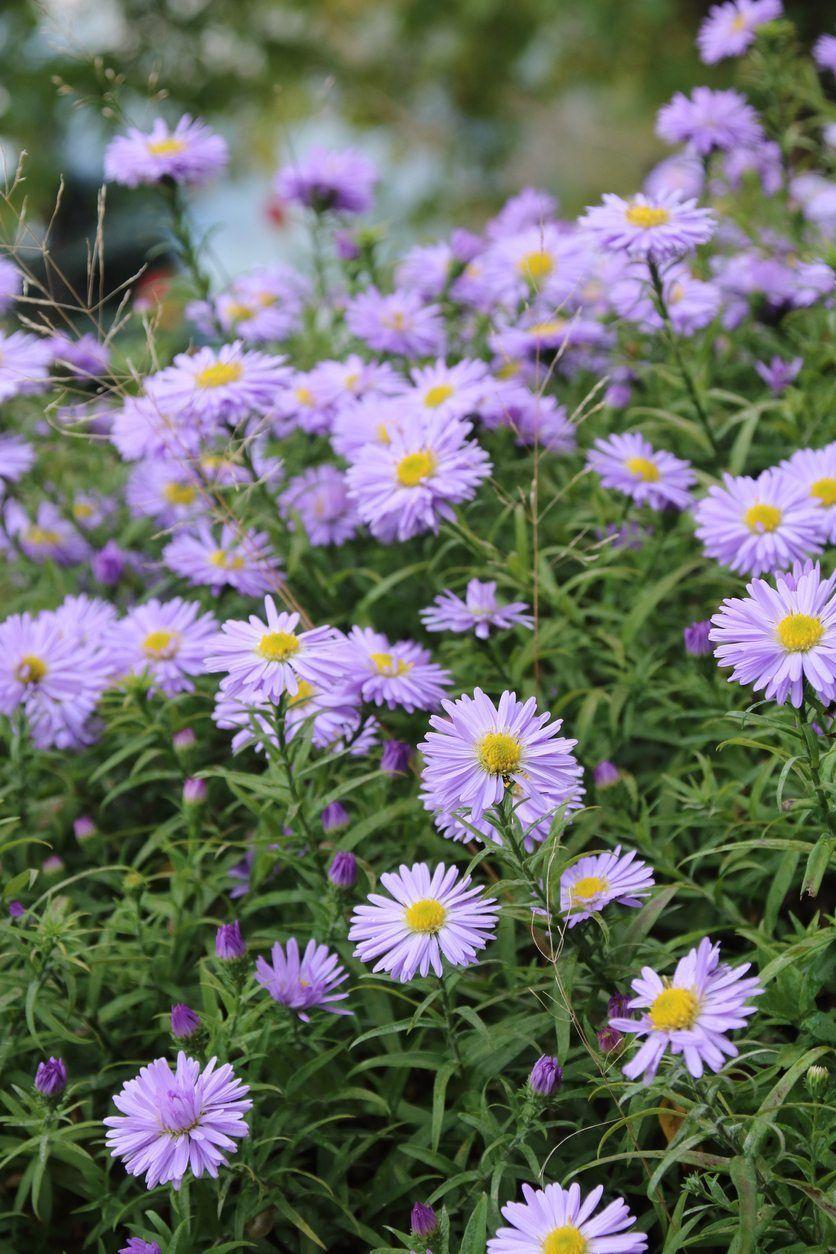 When Do Asters Flower What To Do If Aster Plants Don T Bloom Aster Flower Garden Flowers Perennials Flowers Perennials