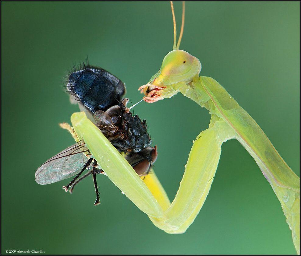 Praying Mantis Fly Jpg 988 841 Praying Mantis Photo Creepy Crawlies