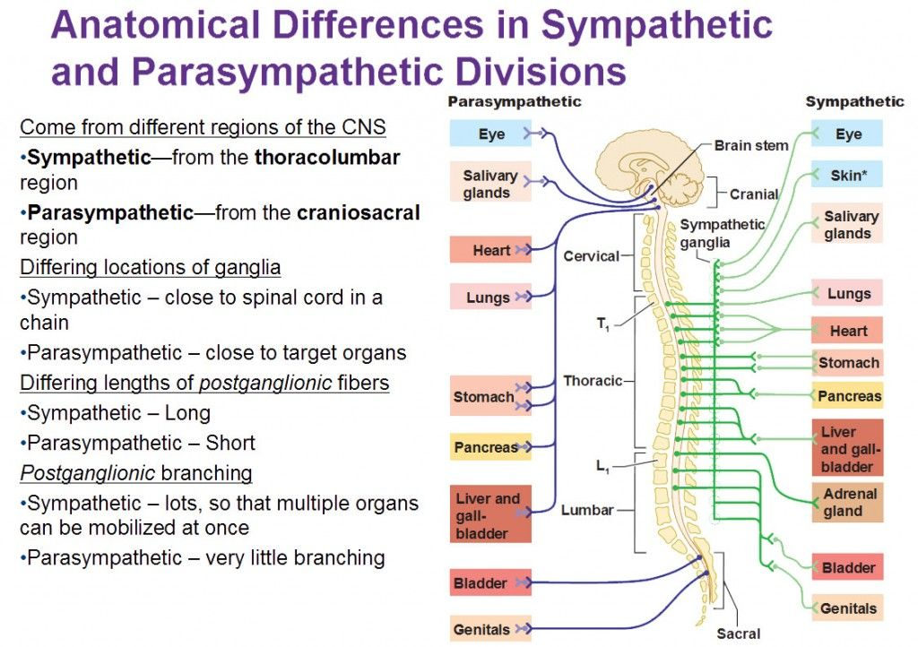 anatomic differences in sympathetic and parasympathetic