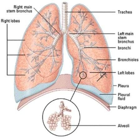 Bronchial Tree | bronchial tree Images, Graphics, Comments and ...