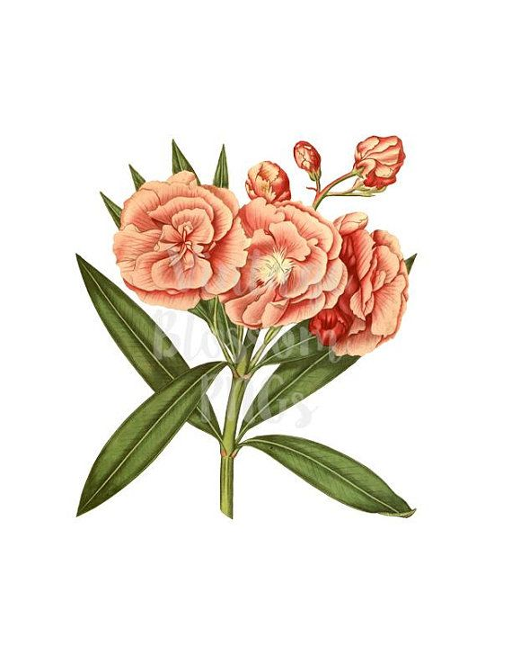 botanical illustration flower clip art for invitations collage rh pinterest com peony clipart free pony clip art free