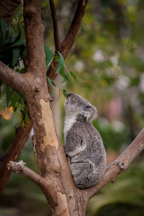 Although Eucalyptus Leaves Are Poisonous Their Special Digestive System Allows Koalas To Remain Unharmed By The Poison Koalas Eat Koala Animals San Diego Zoo