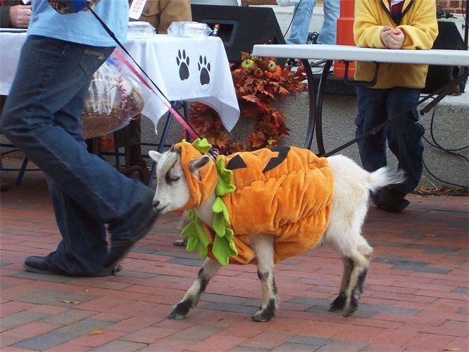 A Goat In A Pumpkin Costume Goats In Sweaters Pet Goat Pet