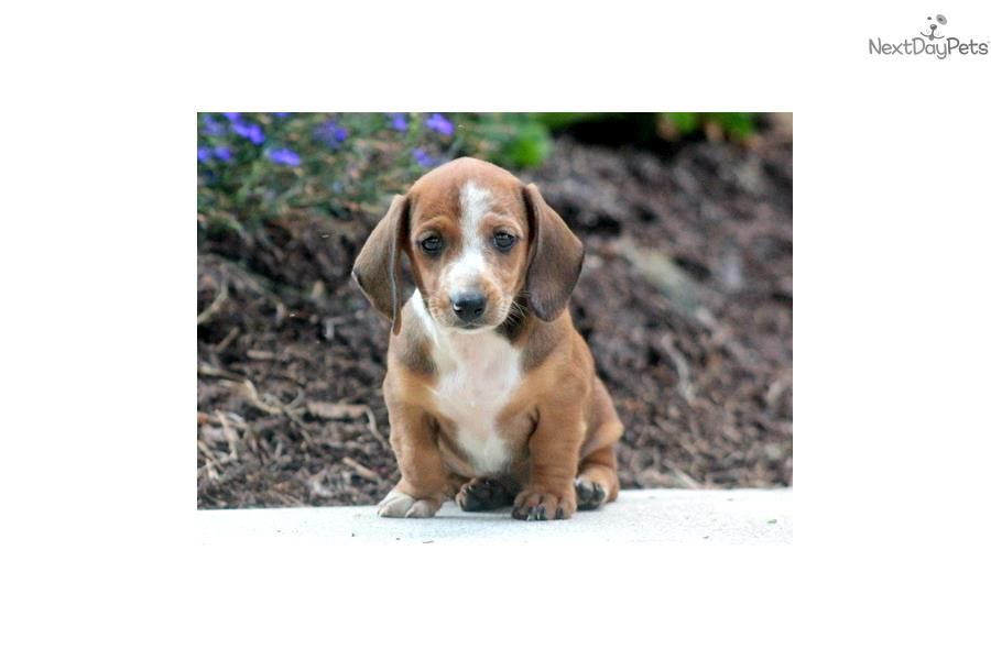 Meet Flora A Cute Dachshund Mini Puppy For Sale For 695 Flora