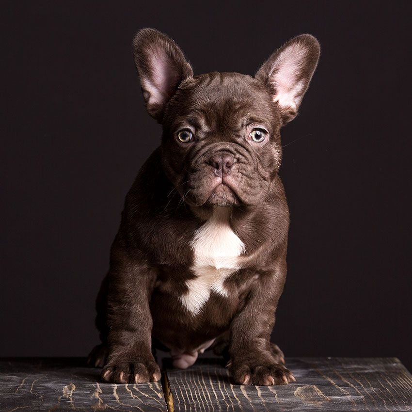 Our breeding (With images) French bulldog puppies