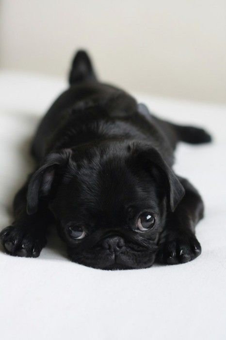 I M So In Love I Can T Even Express Looks Like My First Pug