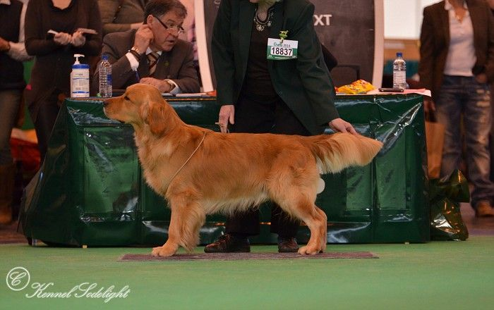 Catcombe Coconut At Crufts 2014 Golden Retriever Animals Dogs