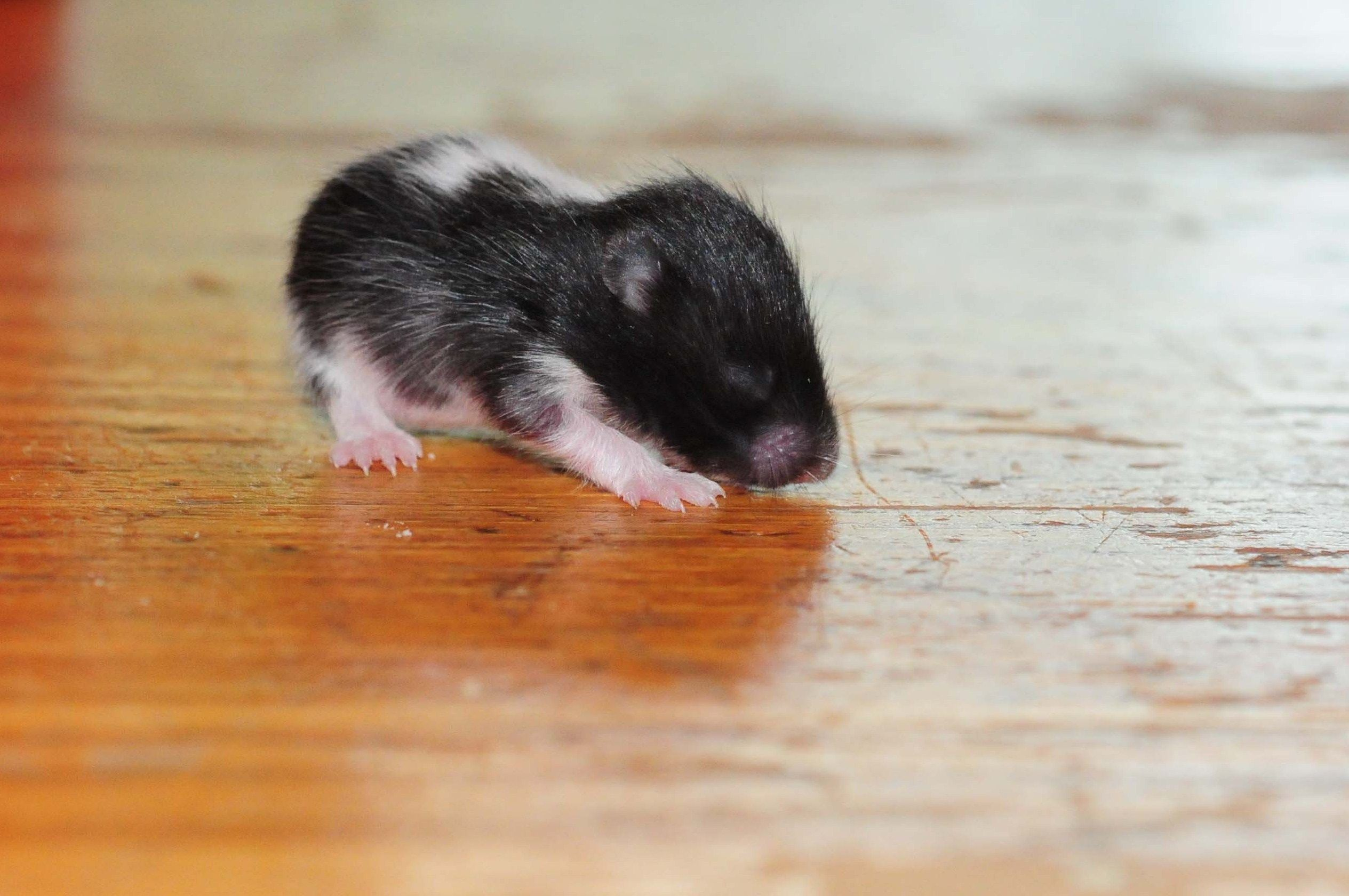 Black And White Hamster Baby Less Than Two Weeks Old Fuzzy And