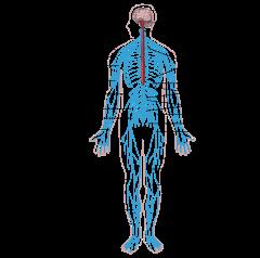 Nervous system diagram-en.svg