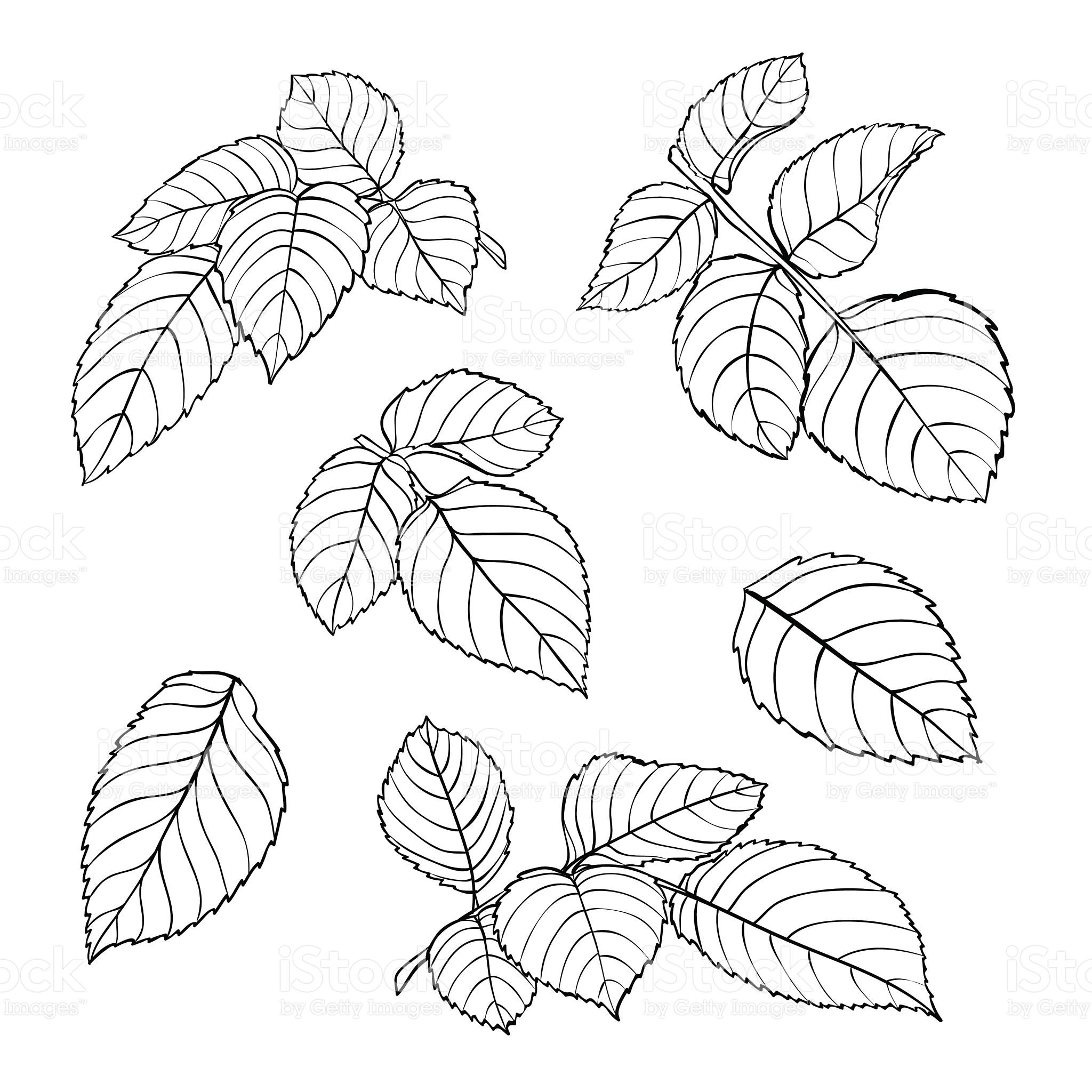 Set Of Beautiful Black And White Rose Leaves Isolated On White Royalty Free Stock Vector Art Realistic Flower Drawing Leaf Drawing Rose Drawing