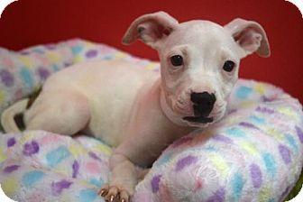 Phoenix Az Staffordshire Bull Terrier Chihuahua Mix Meet Daisy A Dog For Adoption Kitten Adoption Staffordshire Bull Terrier Dog Adoption