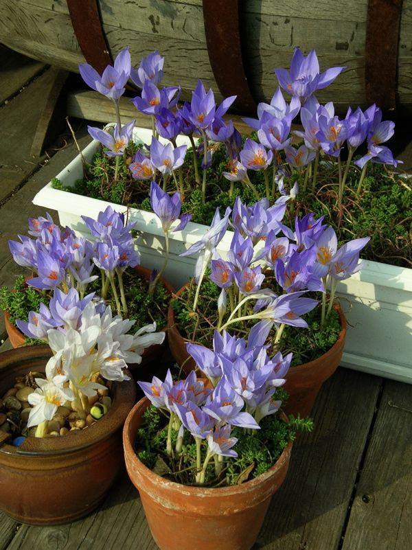 krokusse blumentopf wachsen moos tontöpfe | gärtnern in gefäßen, Terrassen ideen