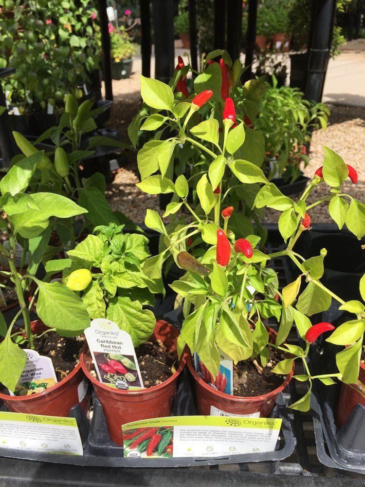 Summerwinds Nursery Phoenix Az United States Chili Plants