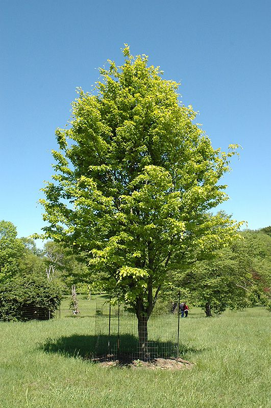 Rohan Gold Beech Us Sylvatica At Weston Nurseries
