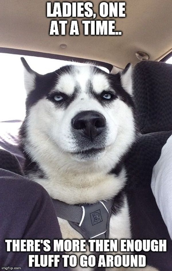 40 Pictures Of Cute And Funny Husky Facial Expressions Dog