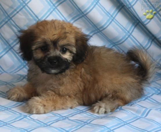 Carson Shih Tzu Lhasa Puppy For Sale In Ronks Pa Lancaster