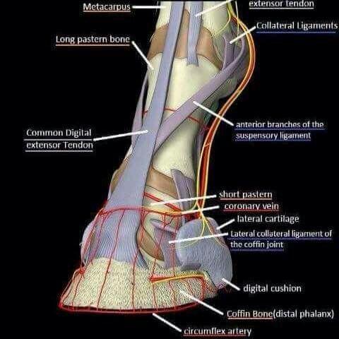 3D structures.. | Heste anatomi | Pinterest