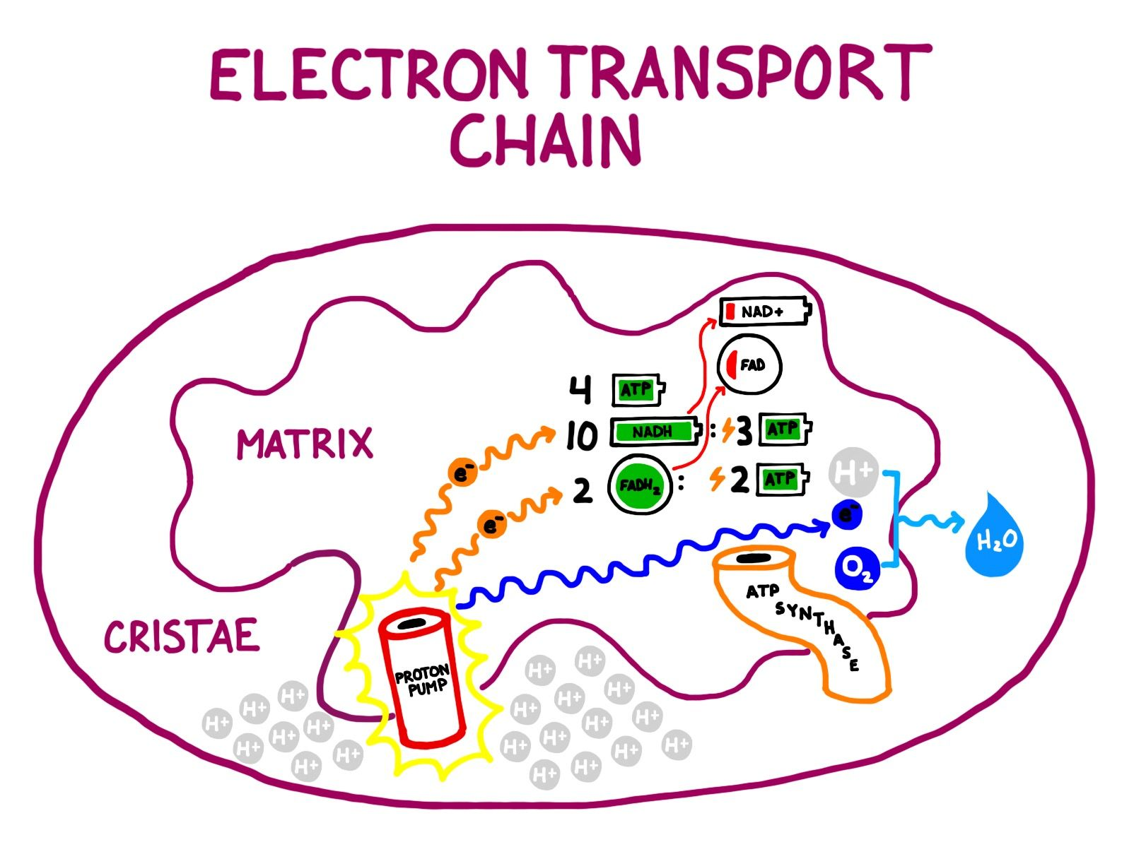The electron transport chain the last stage of cellular respiration the electron transport chain the last stage of cellular respiration ccuart Choice Image
