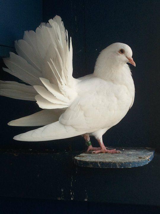 Pigeon Doves