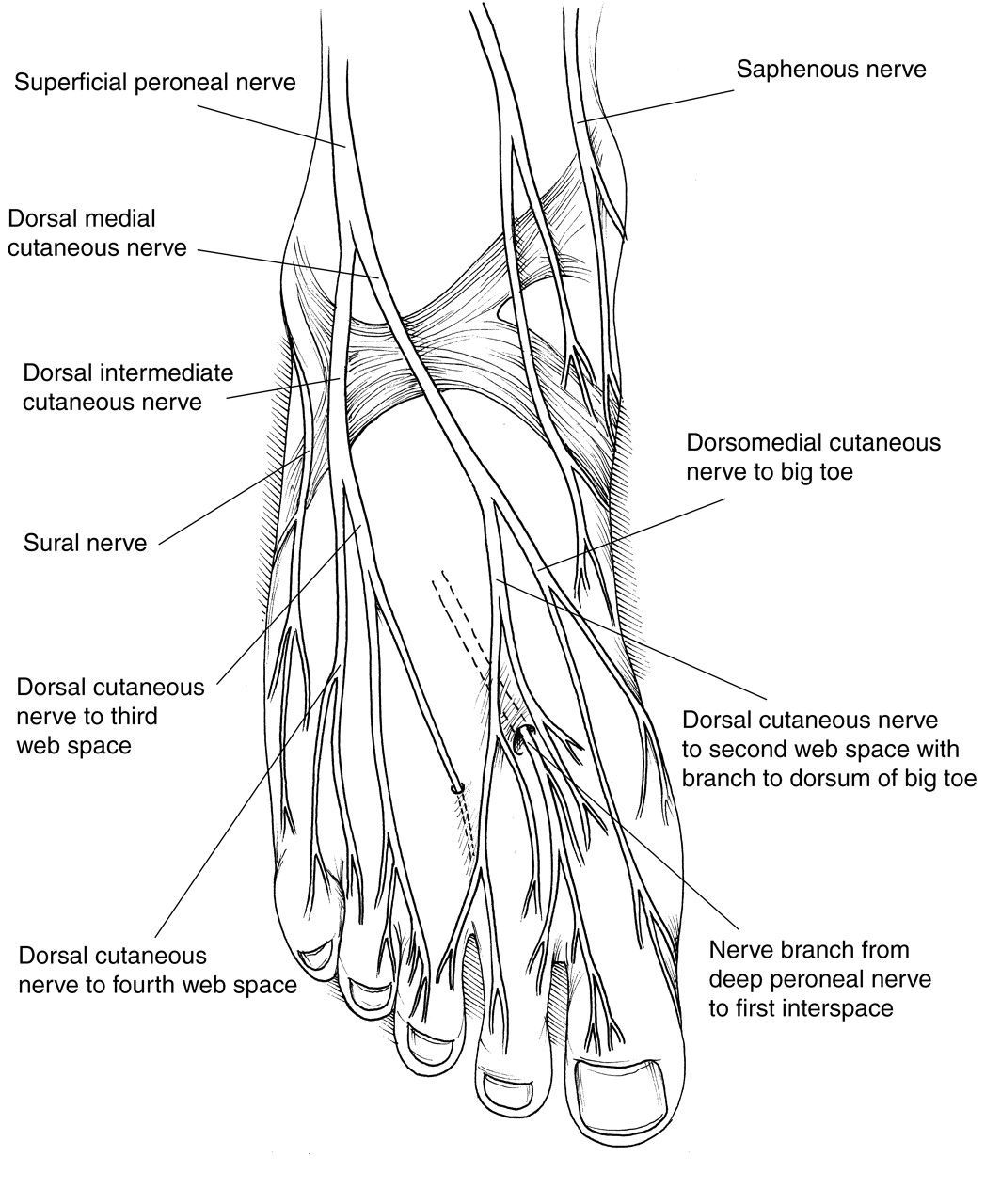 Plantar Foot Anatomy Nerves Fa07 Massage For Health T
