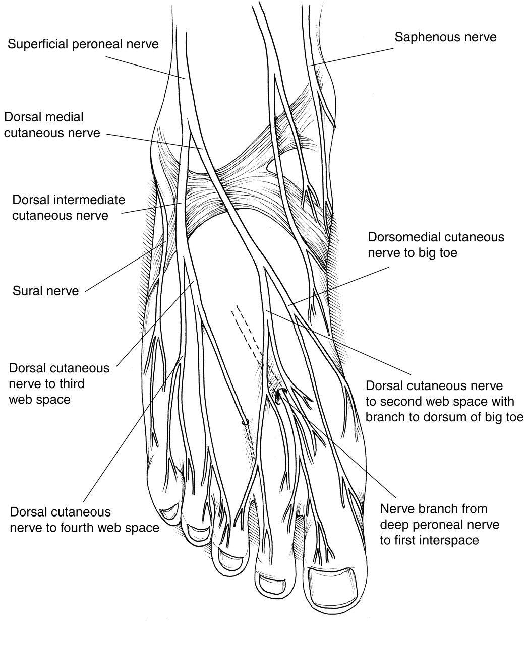 Plantar Foot Anatomy Nerves Fa07 Massage For Health T