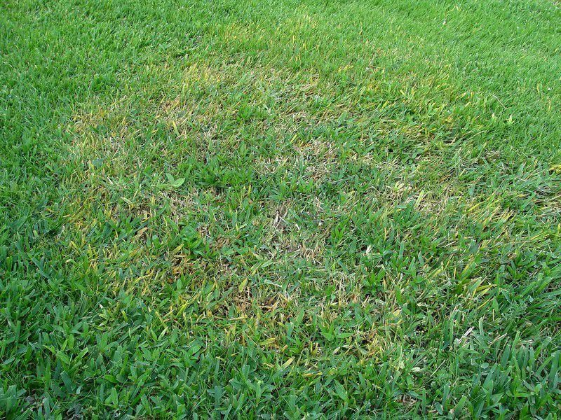 The Best Way To Fight Brown Patch In St Augustine Grass Is Through Prevention Columnists Tylerpaper Com Lawn Grass Grass Field