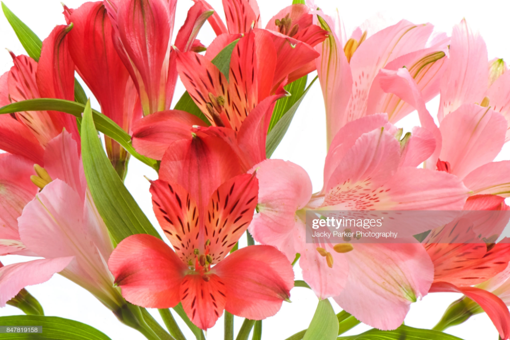 Stock Photo Red And Pink Alstroemeria Flowers Commonly Called The Peruvian Lily Or Lily Of The Incas Peruvian Lilies Alstroemeria Flowers