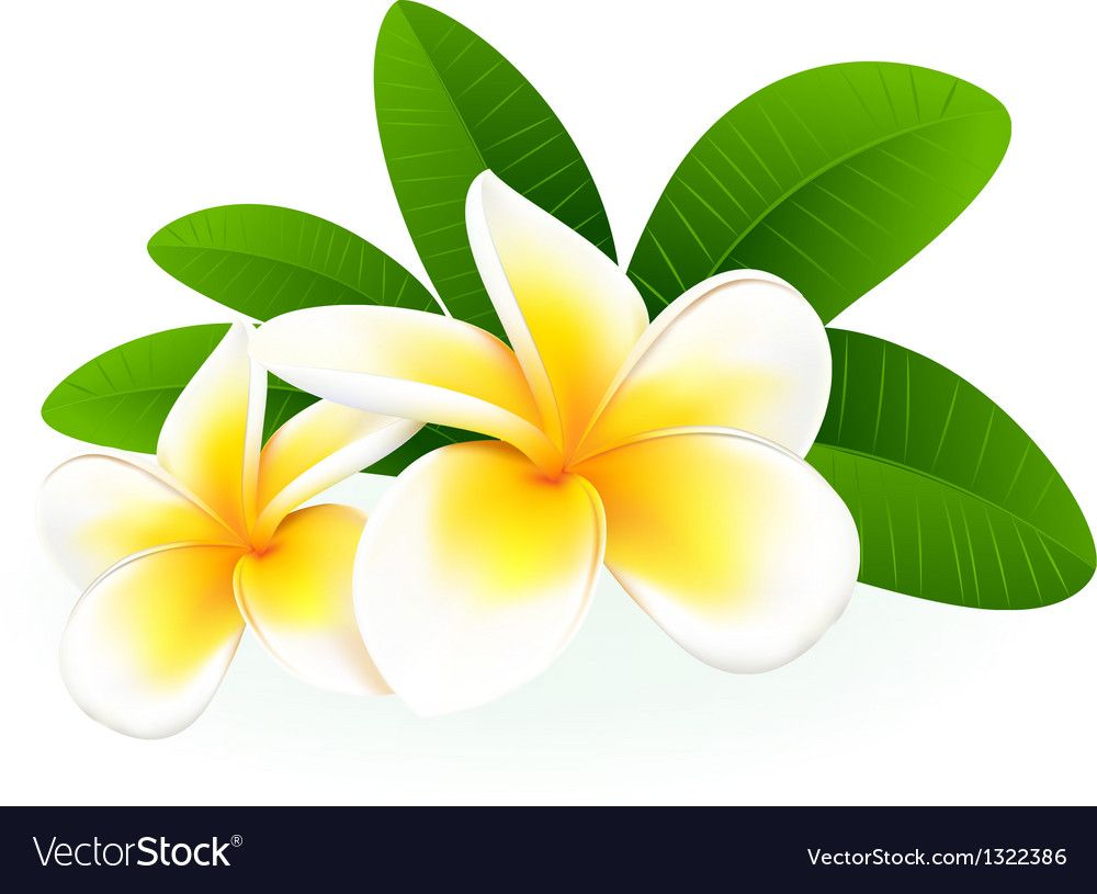 Frangipani Vector Image On Vectorstock Flower Drawing Digital Flowers Frangipani