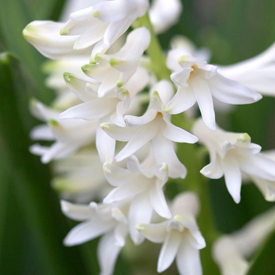 The best fragrant spring flowering bulbs for your garden spring plant in fall for spring blooms hyacinth carnegie gorgeous white blooms that love the full sun 10 inches tall zones 4 8 mightylinksfo
