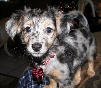 Allie The Papshund Papillon Dachshund Hybrid Puppy At 2