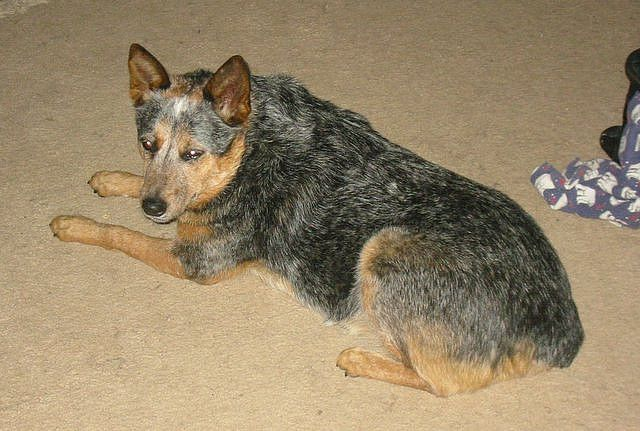 Stumpy Tail Australian Cattle Dog Approx In Similar Backgrounds