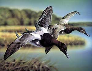 Canvasback Ducks-acrylic painting by wildlife artist Danny O'Driscoll