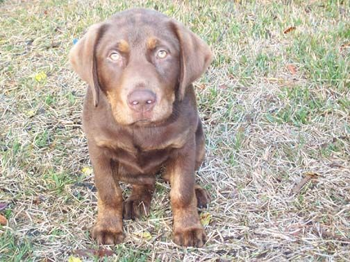 Pin By Michelle Bishop On Pets Pets Animals Chocolate Lab