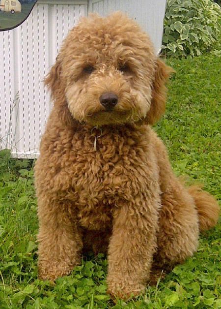 Miniature Goldendoodle Goldendoodle Puppy For Sale Baby Dogs