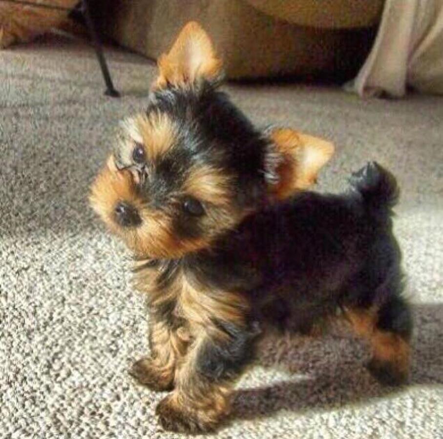 full grown yorkie Google Search Yorkie puppy, Puppy breeds