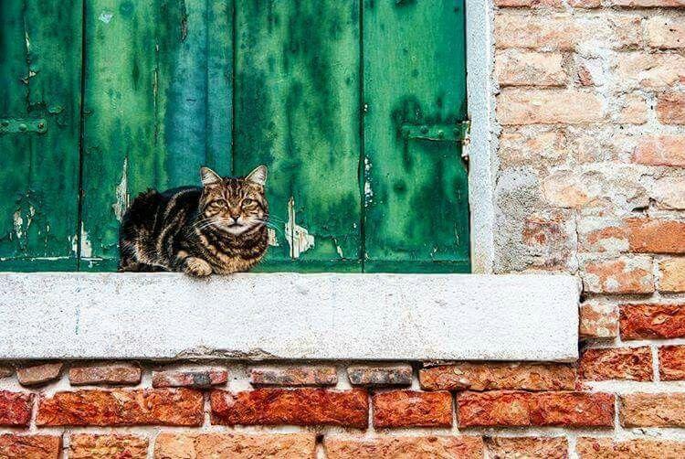 Gato venexian