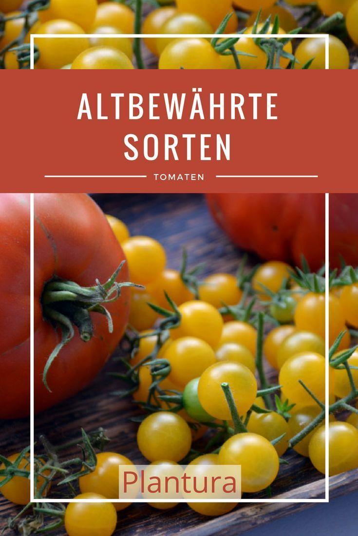 Tomatensorten: Die 60 besten altbewährten & neuen Sorten (Übersicht #tomatenzüchten
