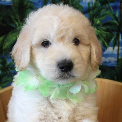 English White And Cream Goldendoodles Goldendoodle Puppy For