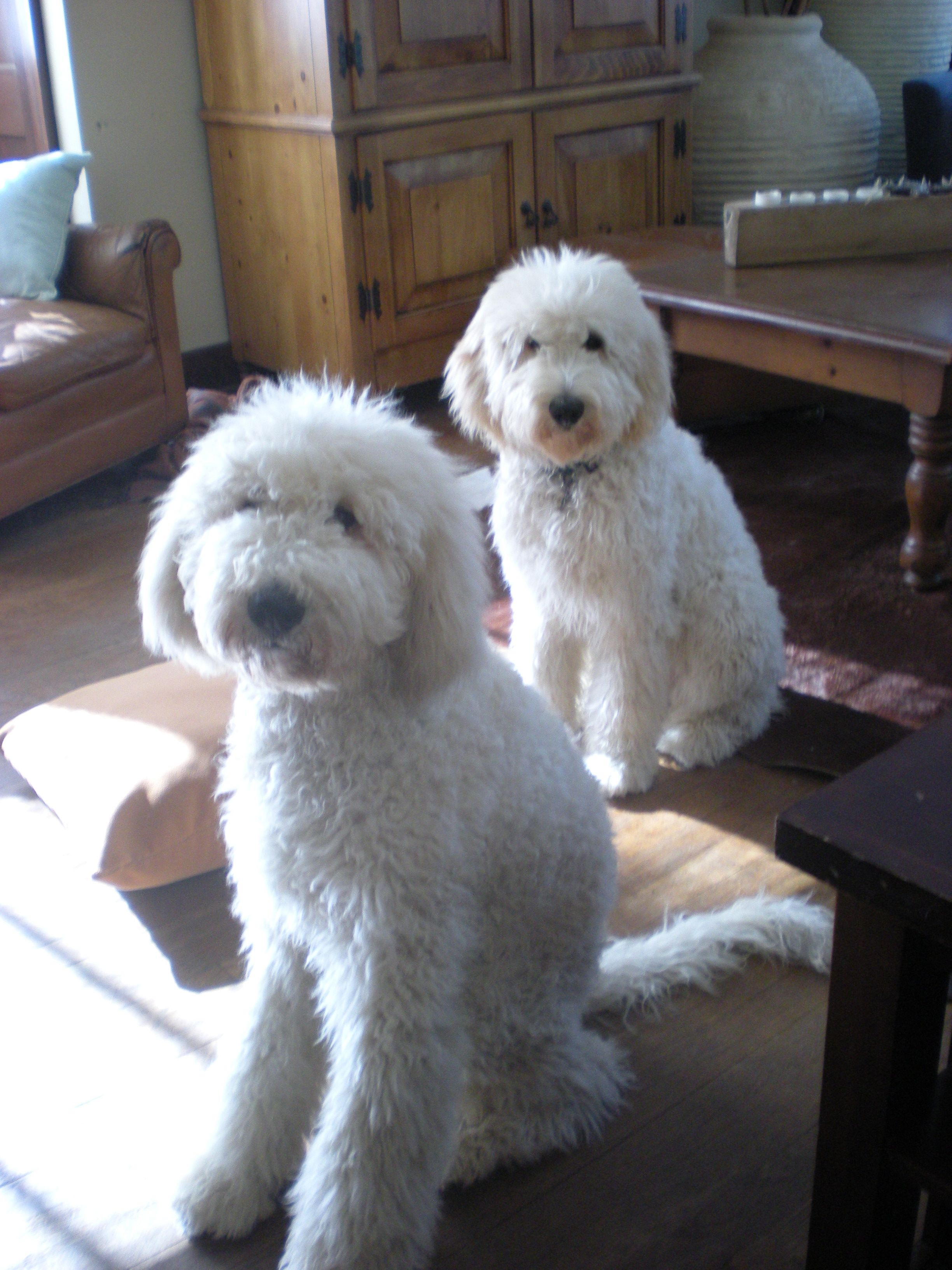 Double Doodles Labradoodle Mixed With A Goldendoodle With