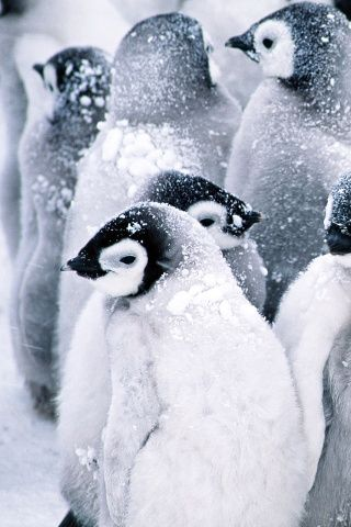 Baby Penguins Iphone Wallpaper Cute Penguins Animals Wild Cute Animals