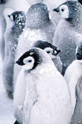 Baby Penguins Wallpaper Cute Penguins Animals Animals Wild