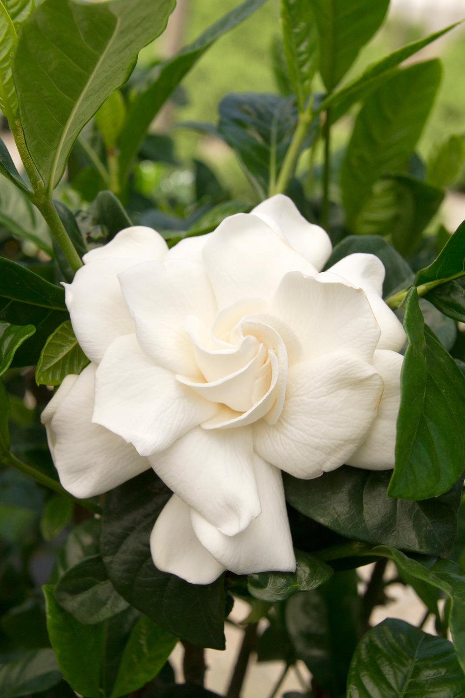 Gardenia Jasminoides Aimee First Love Gardenia Zone 8 11 High 5 8 Wide 3 6 Gardenia Plant Fragrant Flowers Plants