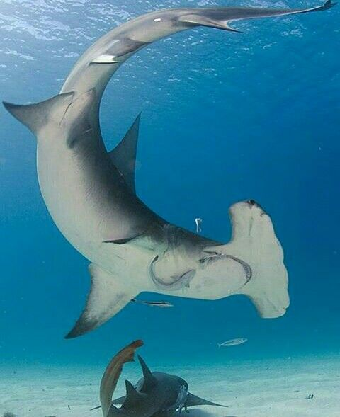 Tiburón Martillo.   Shark   Pinterest   Tiburón martillo, Tiburones ...