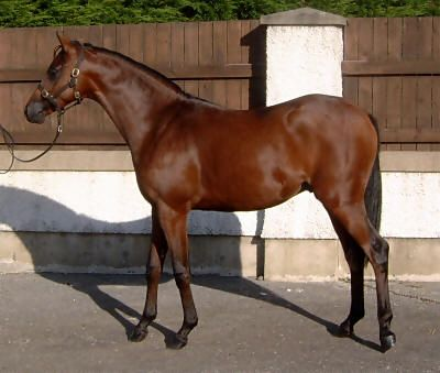 poney welsh part bred
