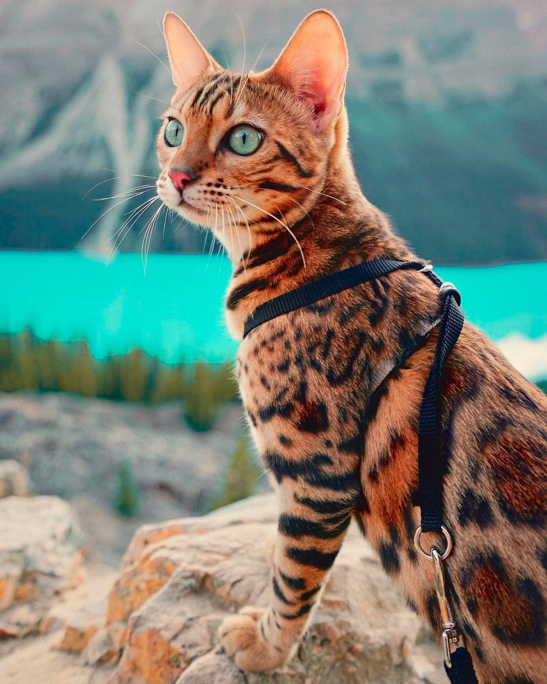 The Adventures Of Suki The Cat Daily Design Inspiration For Creatives Inspiration Grid In 2020 Cat Breeds Bengal Cat Cats