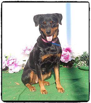 Marietta Ga Rottweiler Meet Cutie A Dog For Adoption Http Www Adoptapet Com Pet 16560929 Marietta Georgia